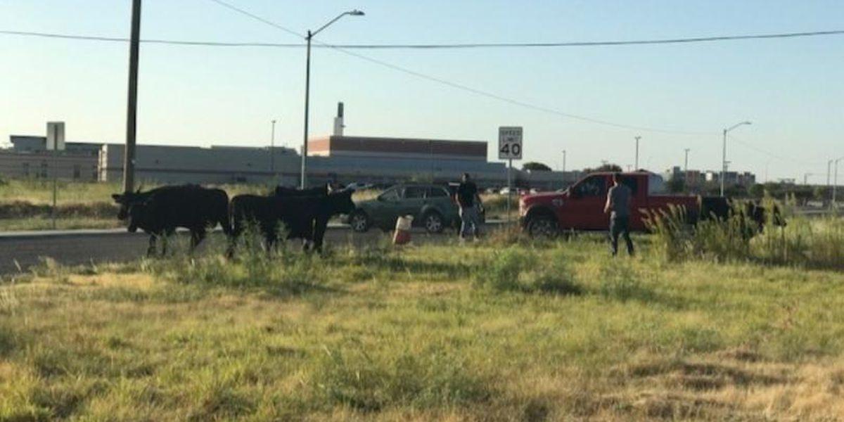 FOTOS: Vacas se soltaron cerca de Compass Academy en Odessa